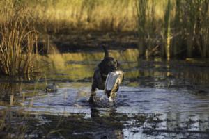 labrador retriever duck marsh retrieve