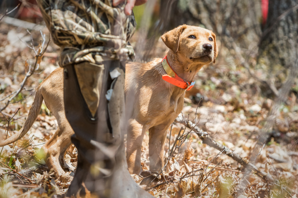 Spring Training for Gundogs. Young lab puppy looks at its handler for direction.