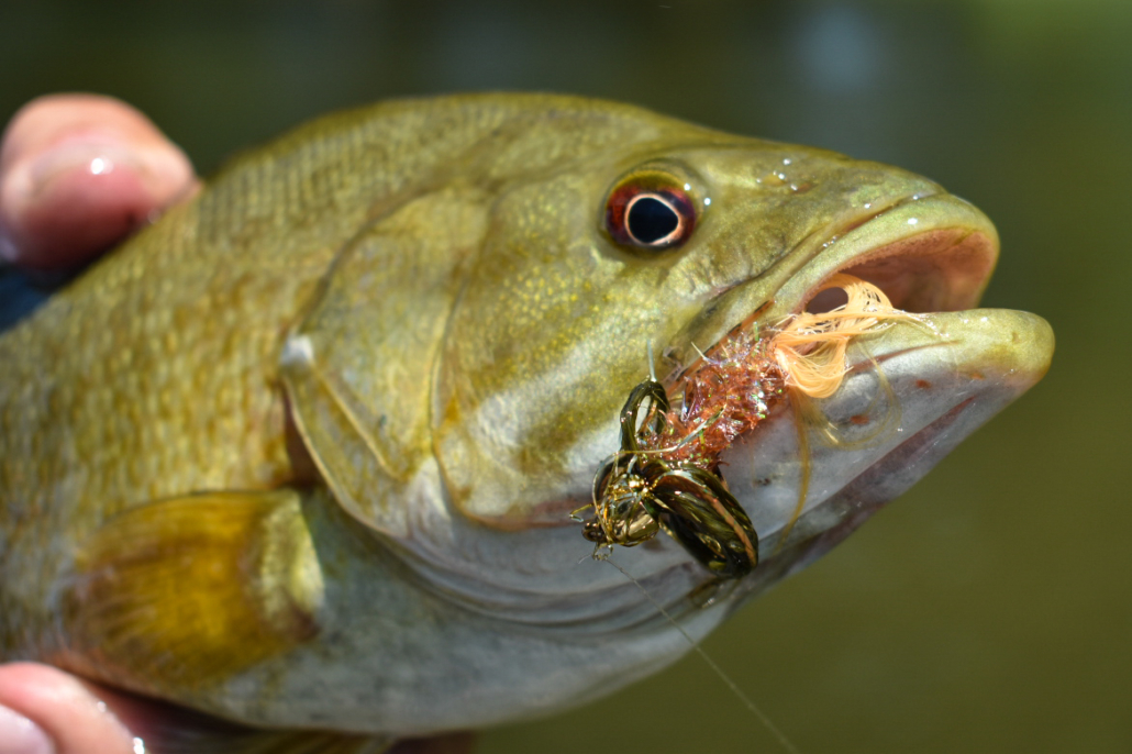 Smallmouth Bass with Lapdancer Fly