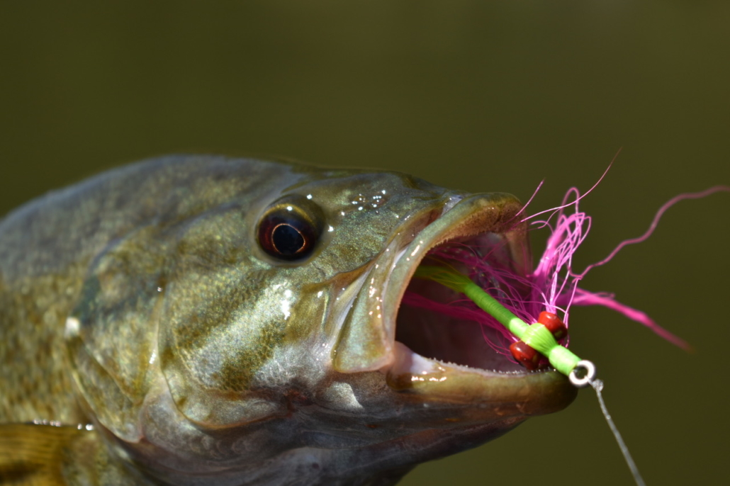 Smallmouth bass on the fly